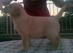 Kućni ljubimci : Stenad labradora