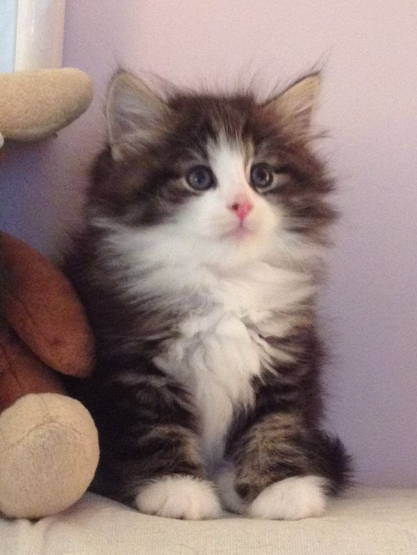 Kashi Saga Kittens Norwegian Forest Cats Breeder New Jersey Usa Cat Breeder Norwegian Forest Cat Breeders Forest Cat