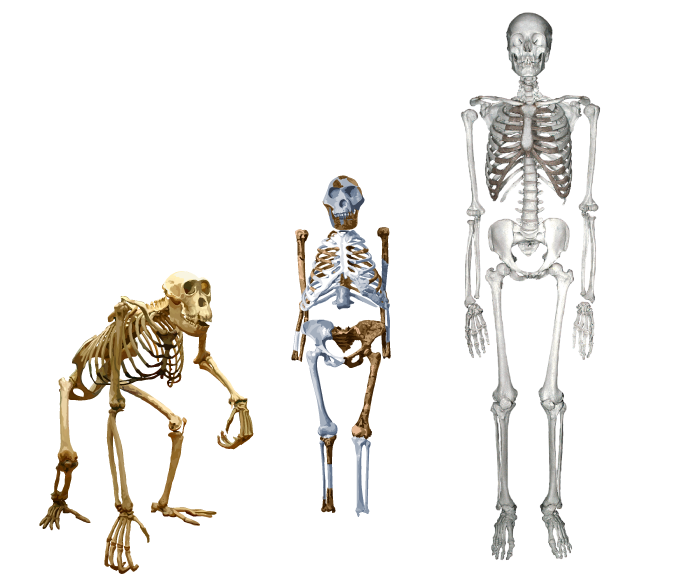 human skeleton vs ape skeleton – citybeauty, Skeleton