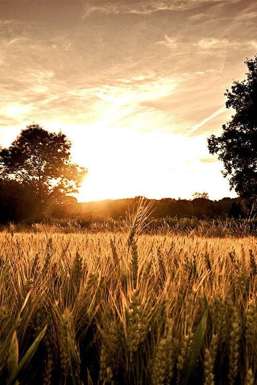 Wheat Sunset Wallpapers Download at