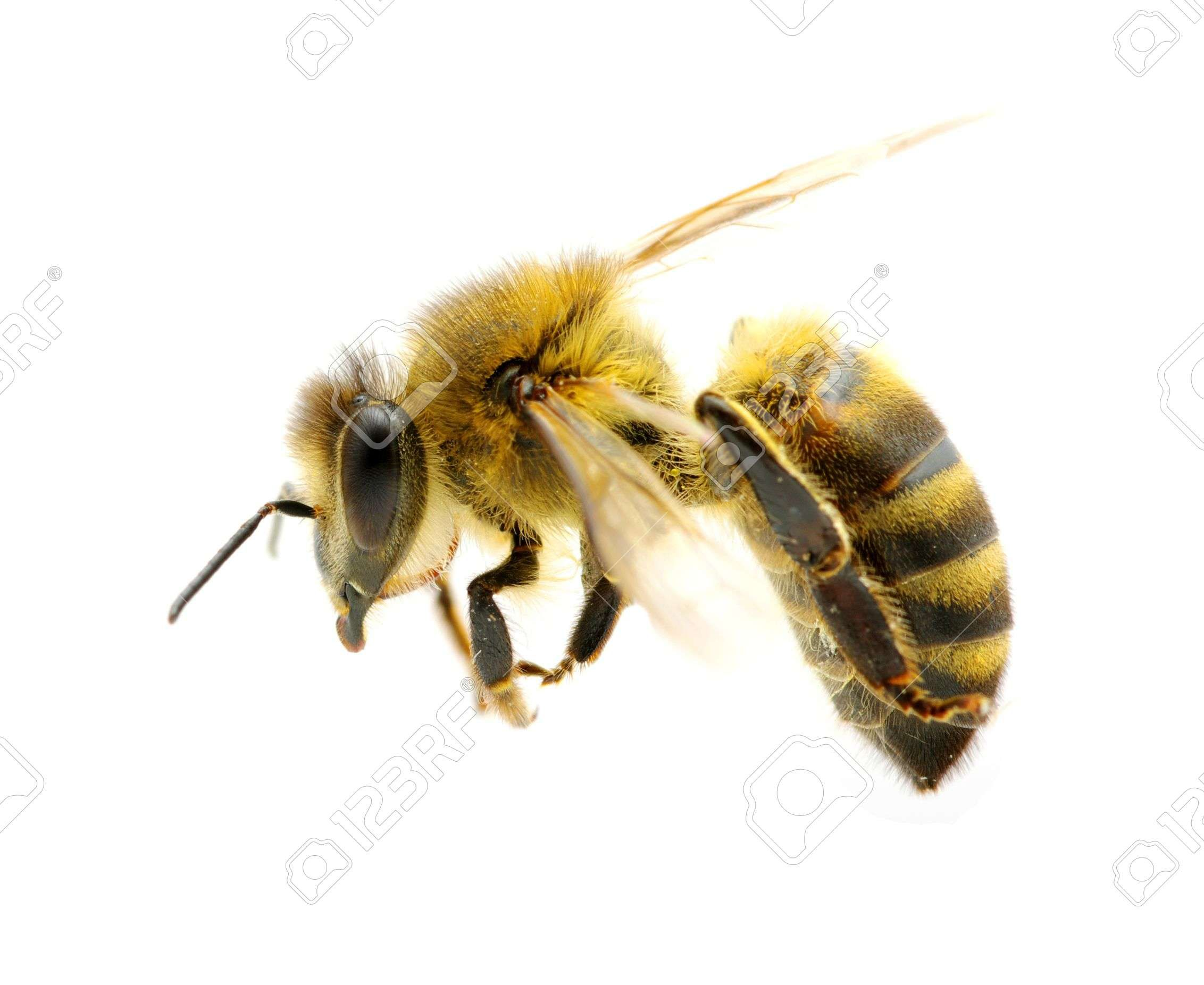 Bee In Flight On White Stock Photo, Picture And Royalty Free Image ...