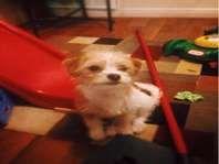 Bella Chihuahua Shih Tzu Mix Dogs Pets And Livestock