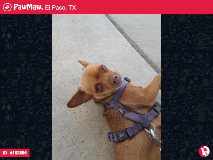 Female Dog Lost In El Paso Tx 79924 Losing A Pet Loose Tooth Pets