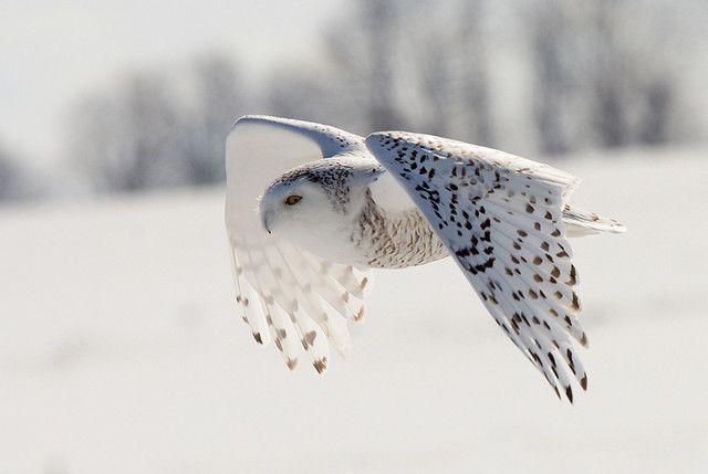 }{     snowy owl in flight - alex thomson