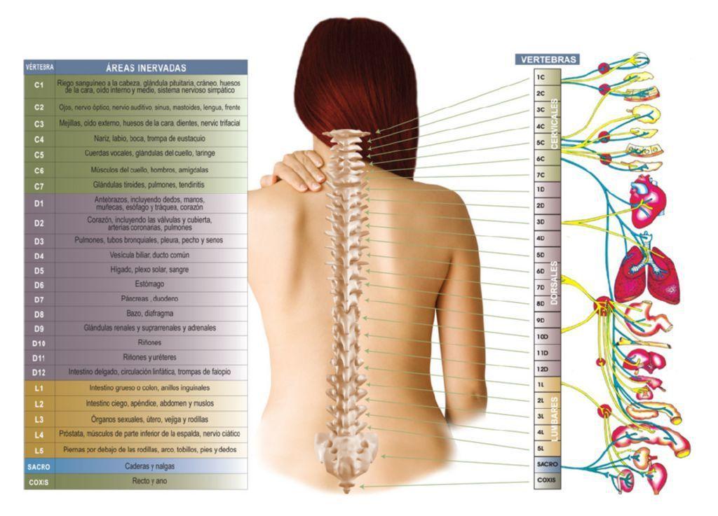 Resultado de imagen para medula espinal | anatomía | Pinterest ...