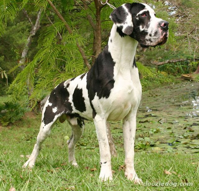 Great Dane Dogs And Puppies Great Dane Wallpaper Dane Dog