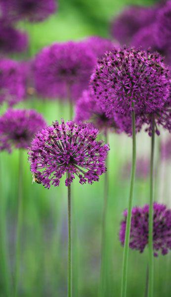 Allium Hollandicum Purple Sensation Allium Allium Flowers Beautiful Flowers Flowers