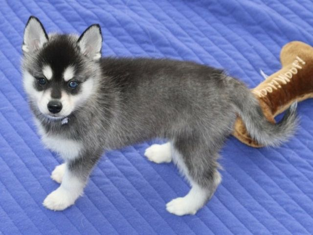 200 00 Beautiful And Charming Siberian Husky Puppies For Homes Puppies Husky Puppy