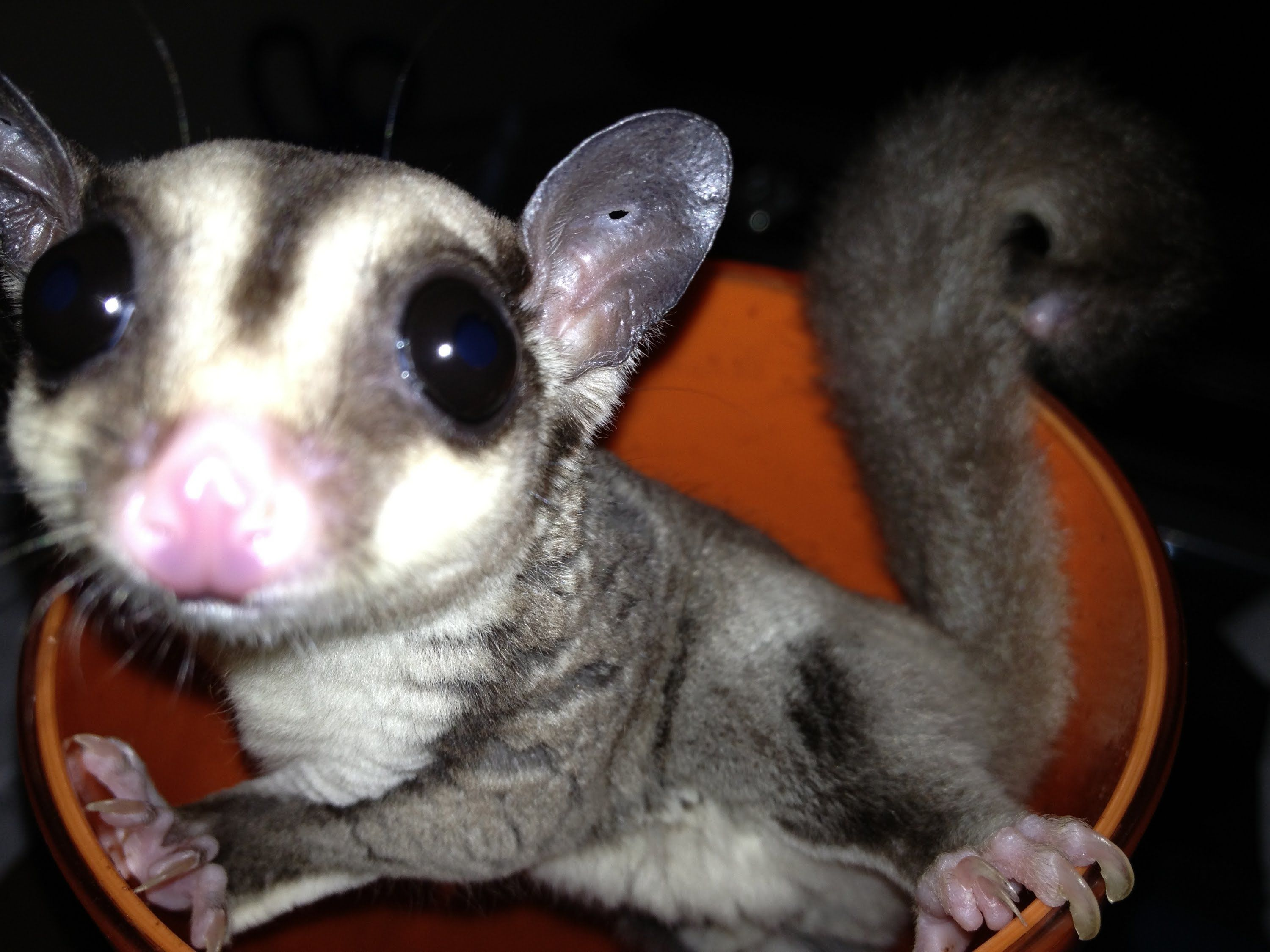 Are Sugar Gliders Good Pets Facts Foods Carings Behaviours Goodmorning Sugar Glider Pets Family Pet