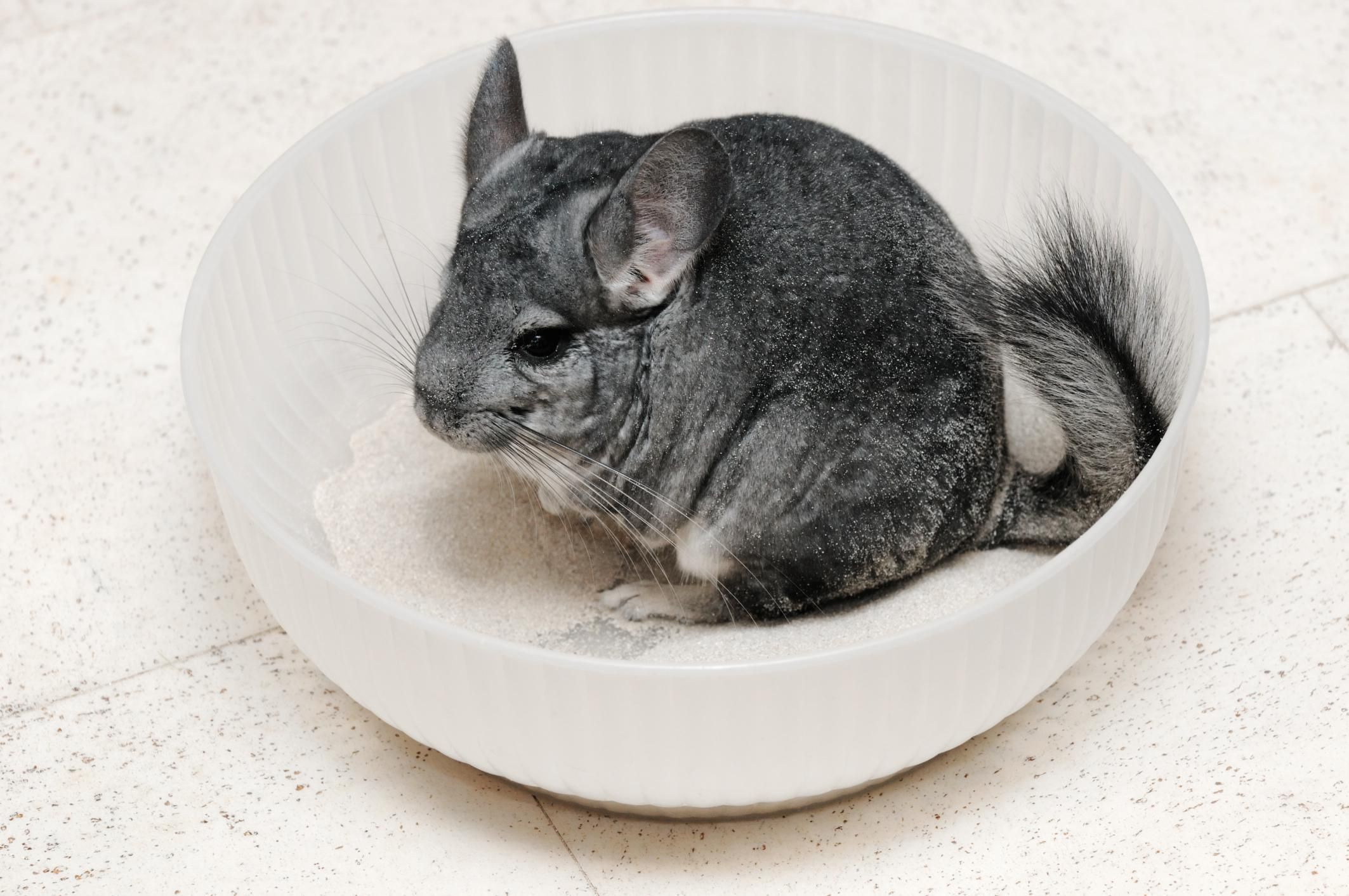 Chinchillas Are The Softest Pet But Are They Right For You