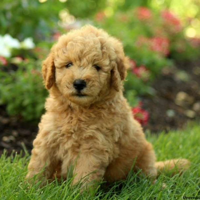 Mini Goldendoodle Puppies for Sale Goldendoodle puppy
