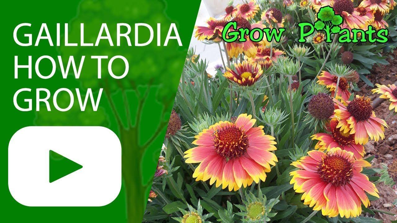 Gaillardia Blanket Flower How To