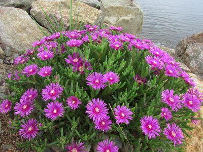 D losperme de cooper pourpier les plantes de mon jardin - Fleurs vivaces longue floraison ...