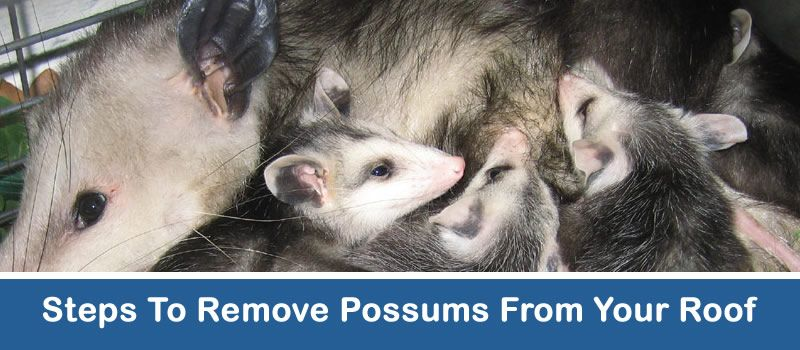 how to get rid of possums in your roof