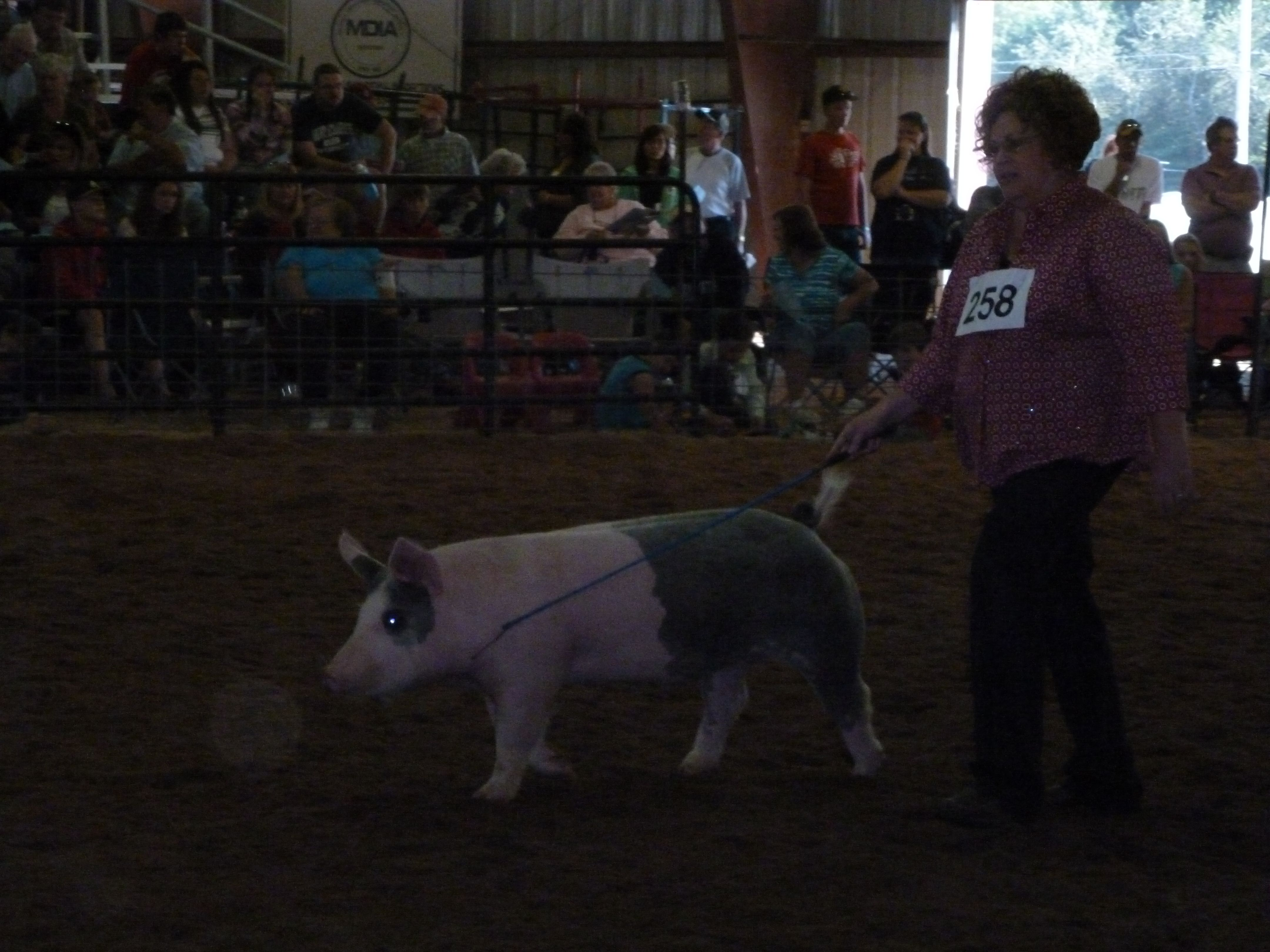 Showing Stella at the county fair.