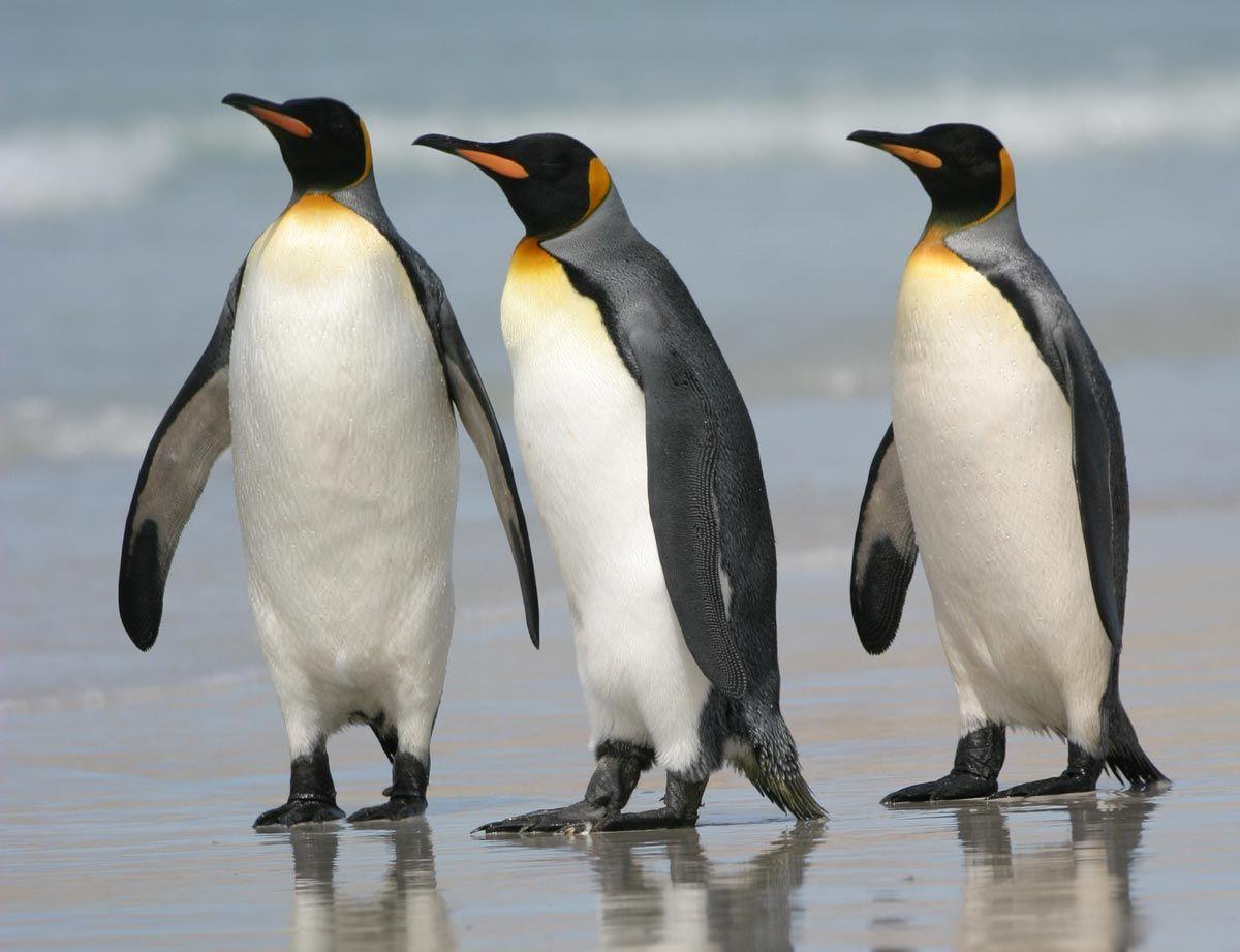 58 best images about Penguins~ on Pinterest | Baby penguins ...