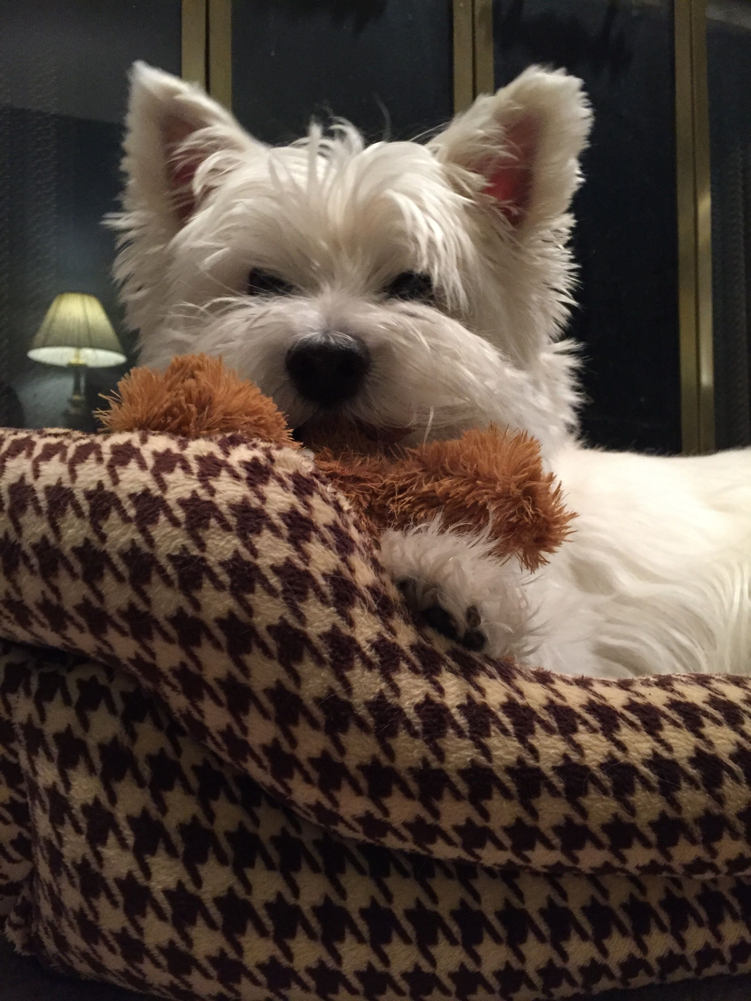 Winston The Westie And His Moose Toy Westie Dogs Westie Puppies