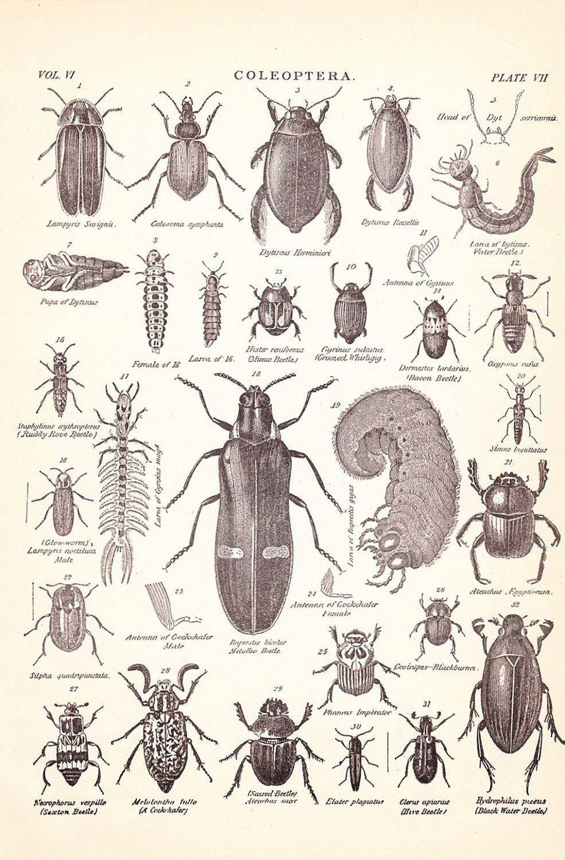 1901 Insect Print - Beetles- Vintage | Halloween | Pinterest ...