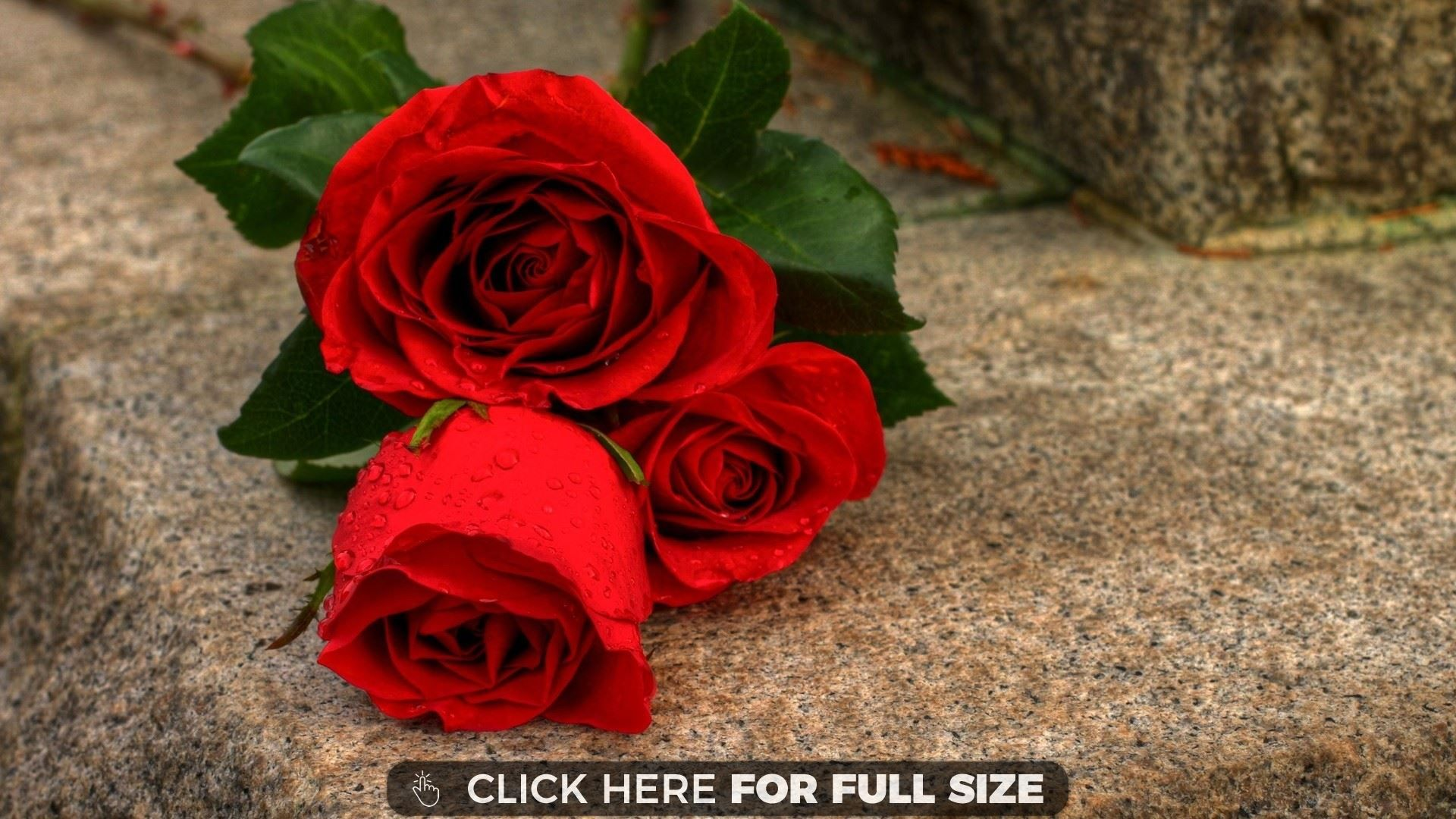 Red Rose Flower 11362 Images Hd Background Wallpapers