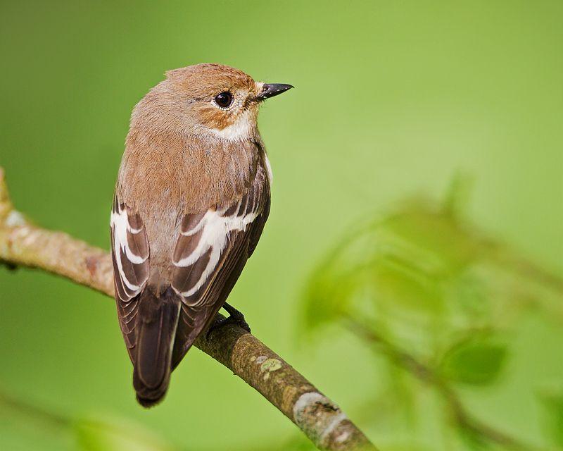 Pied Flycatcher By John Fielding Birdguides Pet Birds Unique Animals Birds