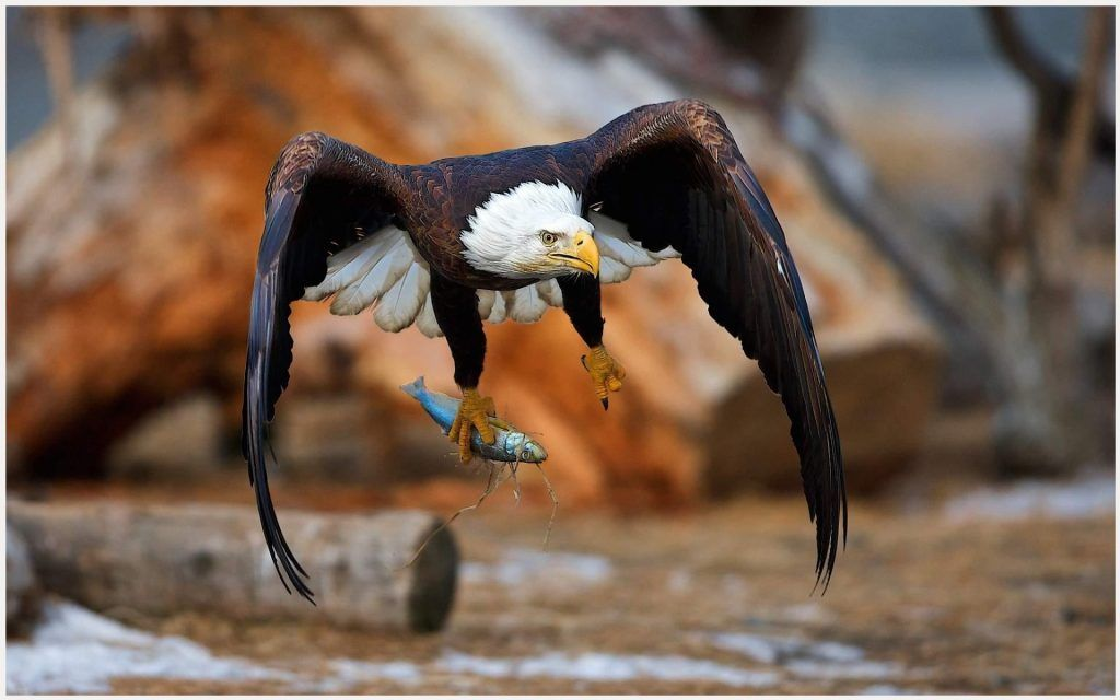 fish eagle hunting wallpaper fish eagle hunting wallpaper 1080pfish eagle hunting wallpaper fish eagle hunting wallpaper 1080p, fish eagle hunting wallpaper desktop, fish eagle hunting wallpaper hd, fish eagle hunting