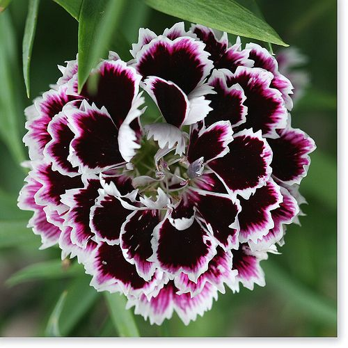 Dianthus Flickr Photo Sharing Indian Flowers Flowers Sweet William