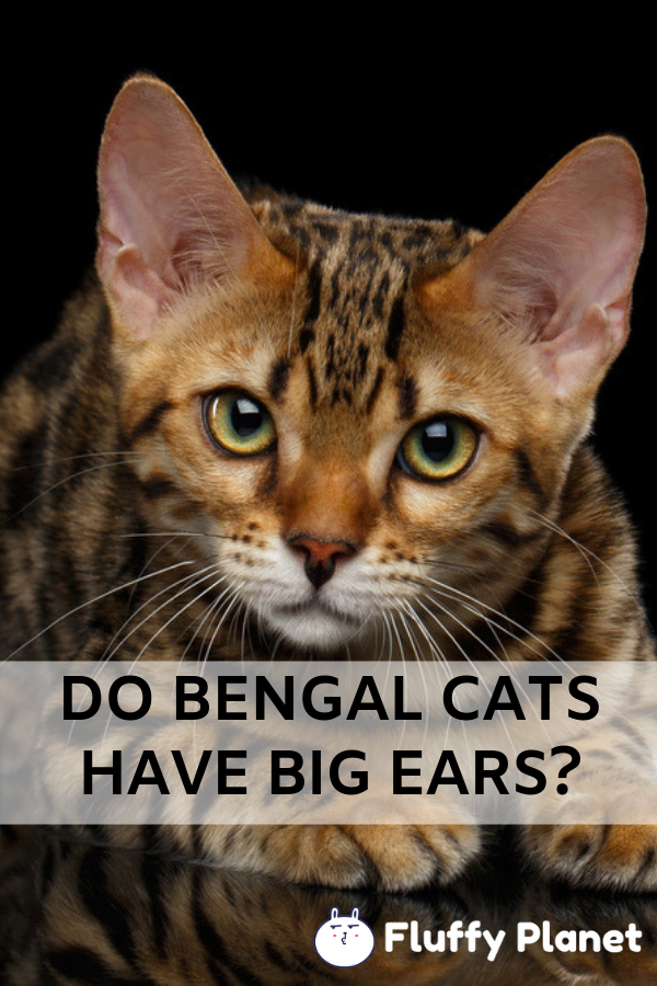 Do Bengal Cats Have Big Ears Bengal Cat Cat Training Cat Owners