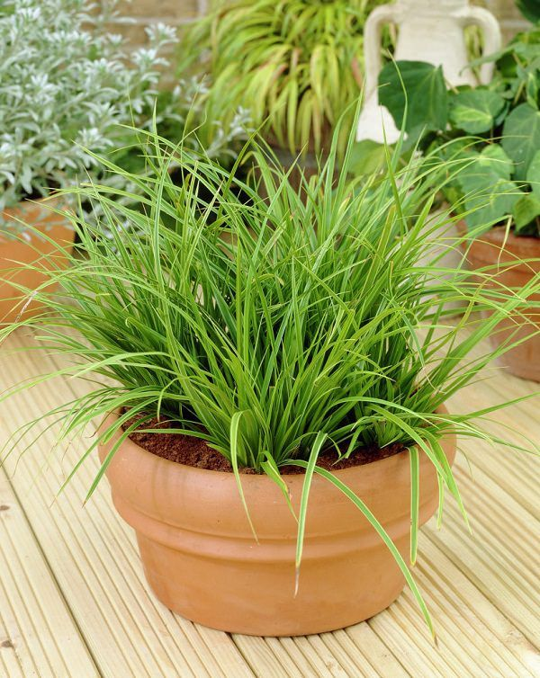 Superbe Fabulous Houseplant Carex Morrowii Variegata Japanese Grass Sedge With  Shade Loving Ornamental Grass And Grows Well Indoors Beautiful Plants That Grow  Well ...
