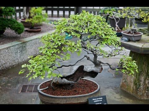 How Do I Prune My Chinese Elm Indoor Bonsai Youtube Chinese Elm Bonsai Bonsai Care Bonsai Tree