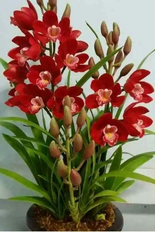 How To Get Orchid Plants To Bloom In 2020 Orchid Flower Red Orchids Orchid Plants