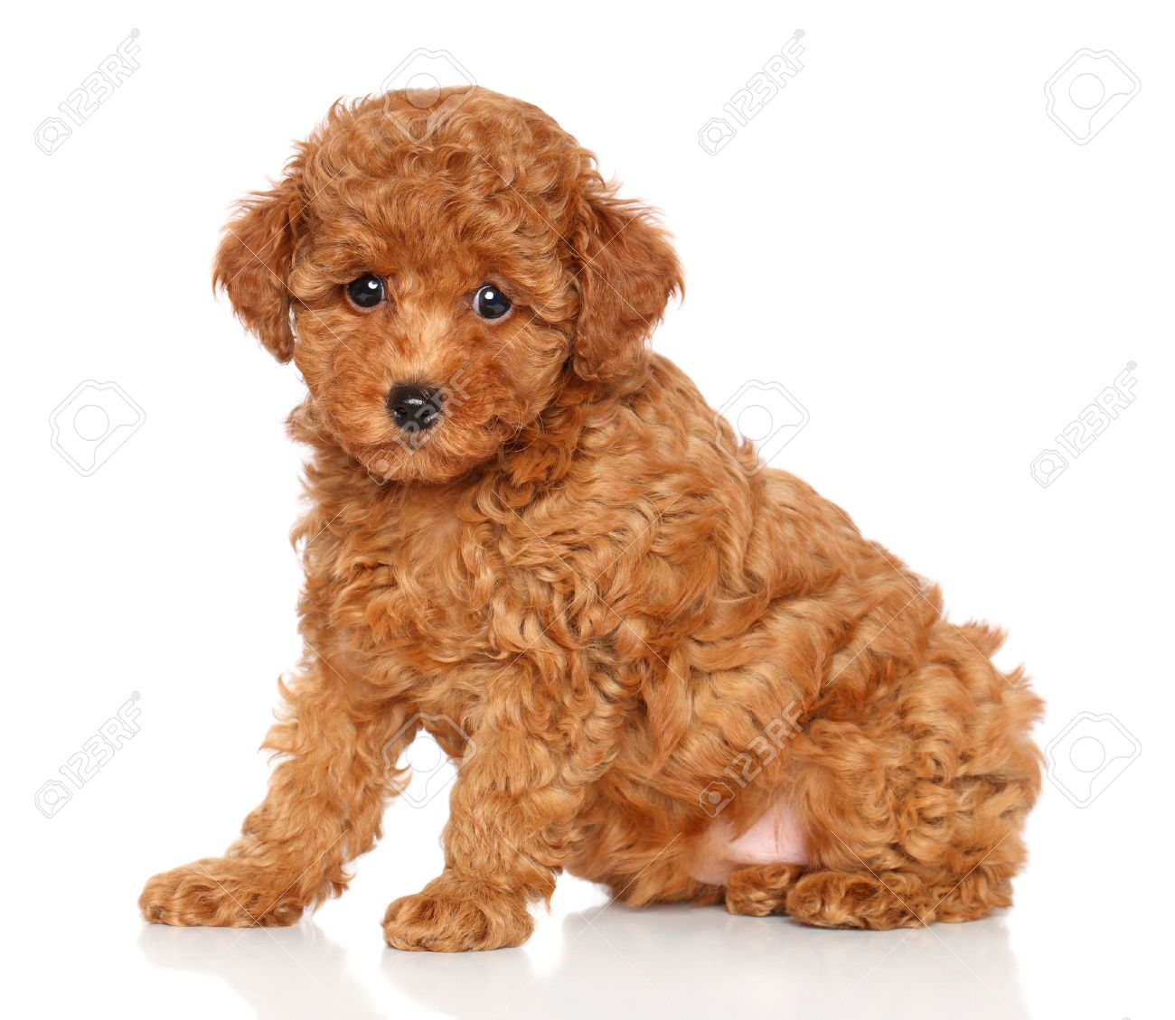Red Toy Dogs : Red toy poodle puppy sits on a white background stock