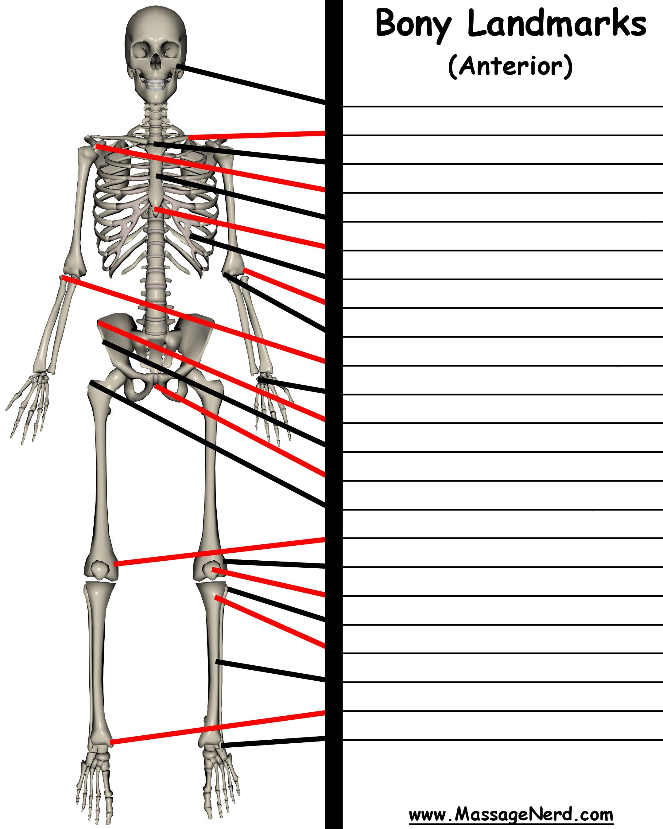 Pin by Oasis Therapeutic Massage, LLC on Anatomy for Massage ...