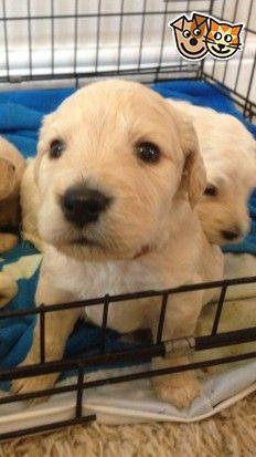 Labradoodle Puppy For Sale Labradoodle Puppy Puppies Super Cute Puppies