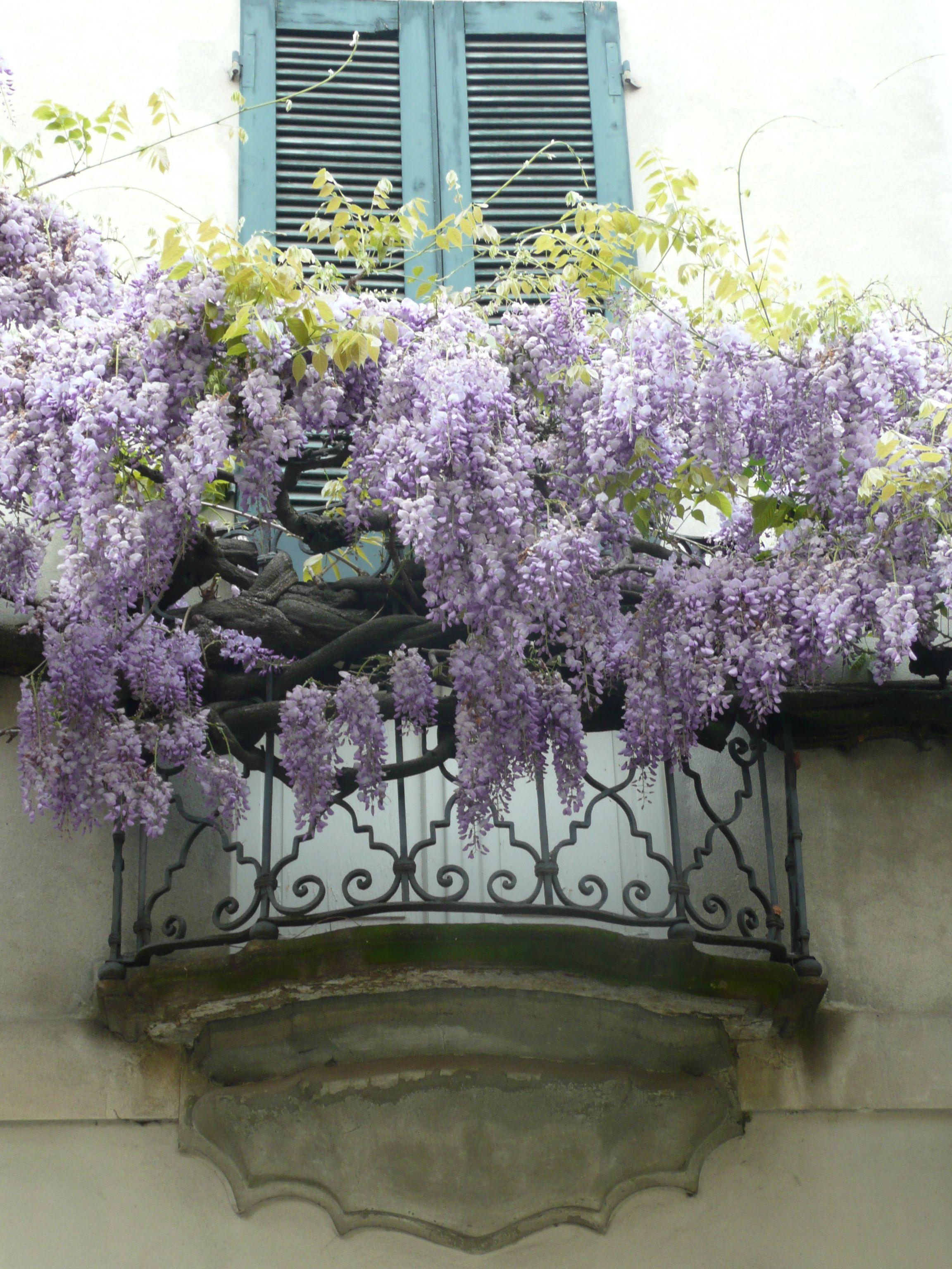 Balcony Wisteria Crema Italia Wisteria Plant Balcony Flowers Flowering Vines