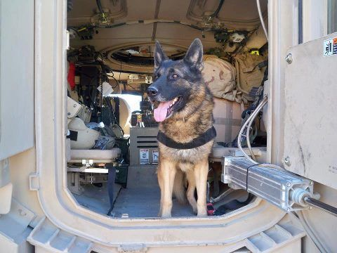 Gorgeous MWD Hero Boxy H126 in Iraq. Boxy is being adopted . He is going to be with retired Air Force Kennel master ,Barb Kirk .  Photo : K9 Heroes