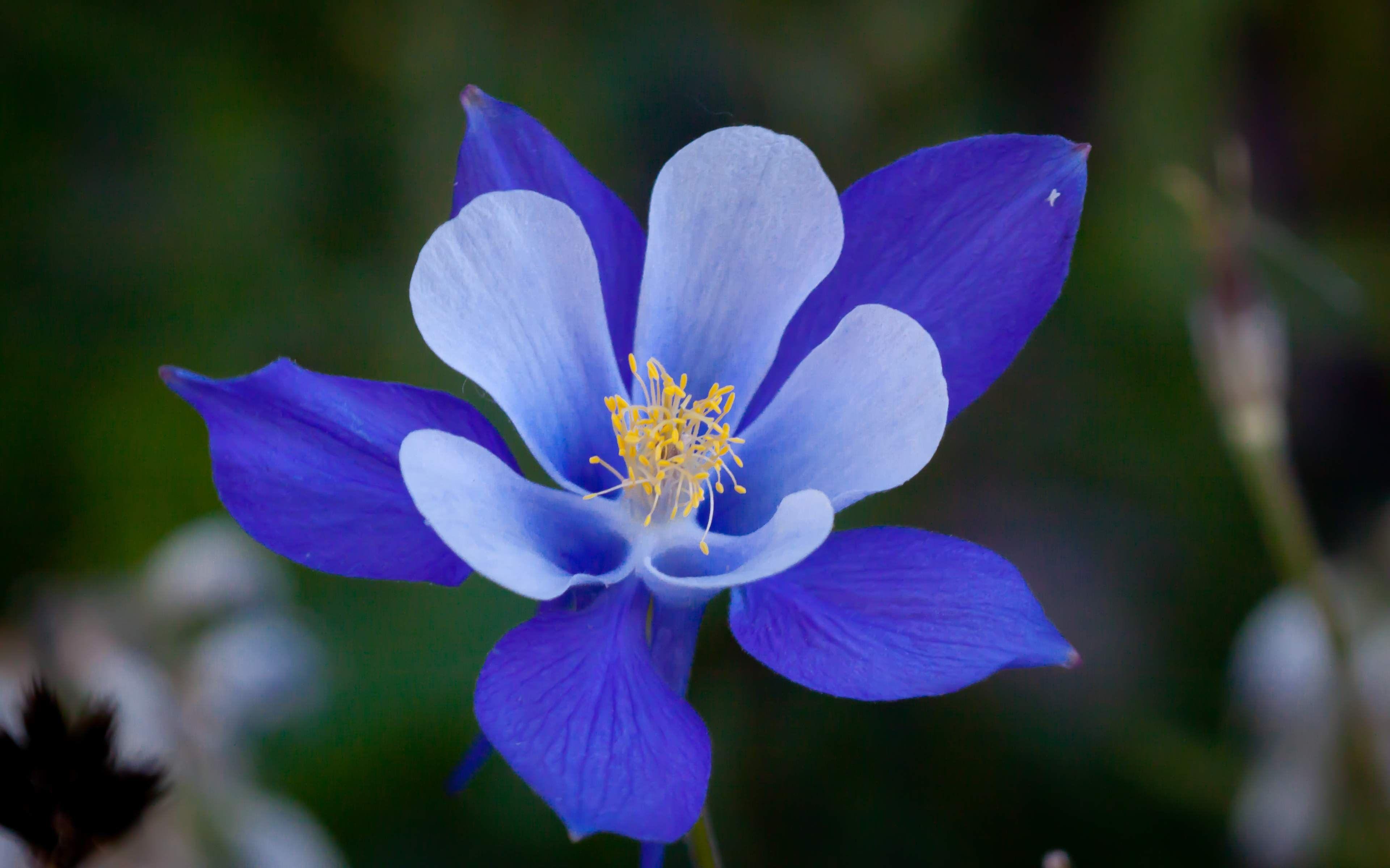 Columbine flower 4k ultra hd wallpaper sharovarka pinterest blue columbine flower state flower of colorado izmirmasajfo Images