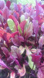 Mini Beterrabas...      Flores na Mesa: mini hortaliças