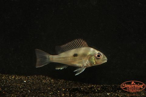 Geophagus Winemilleri Imperial Tropicals (With images
