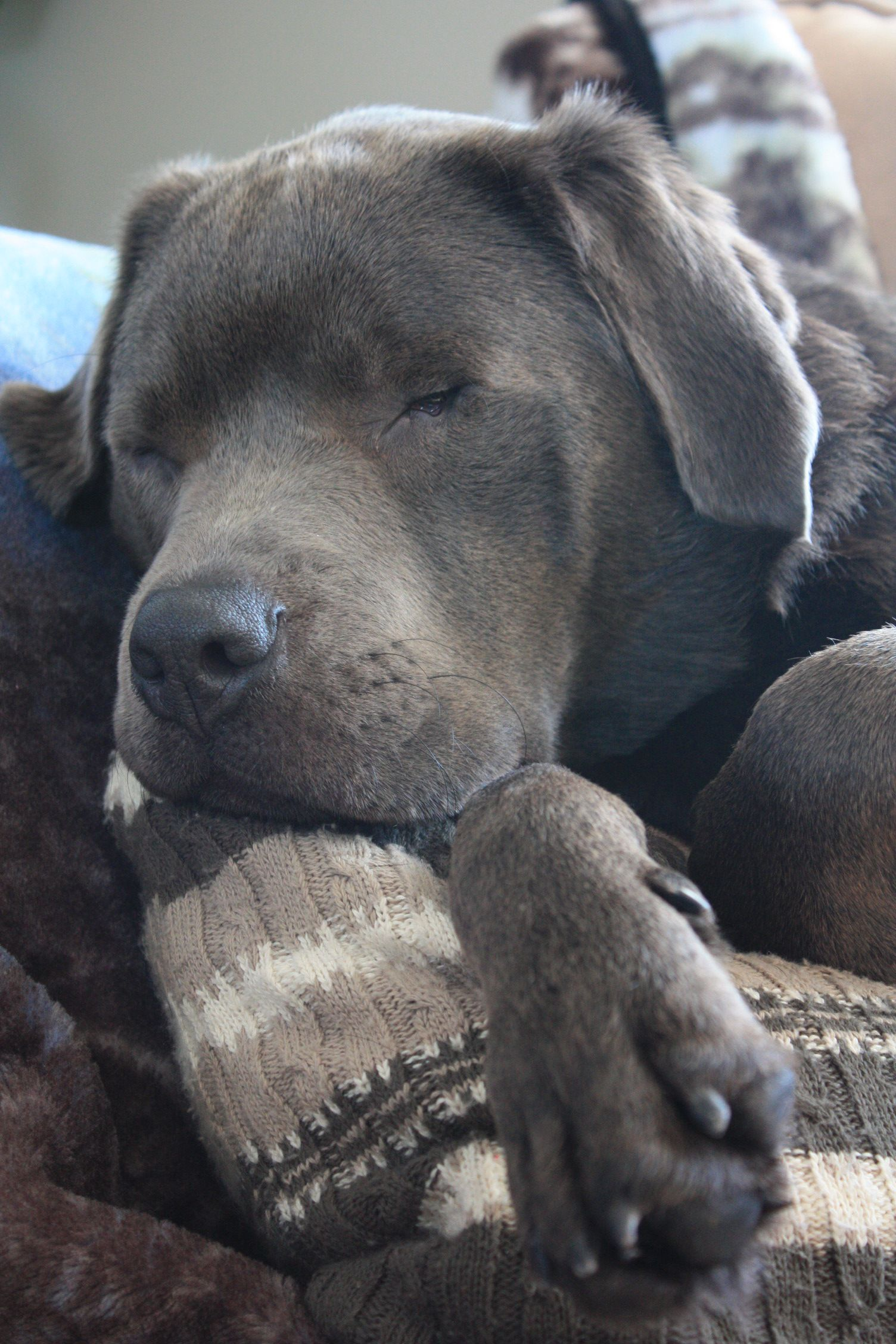 Silver Lab Dogs Puppies Cute Animals