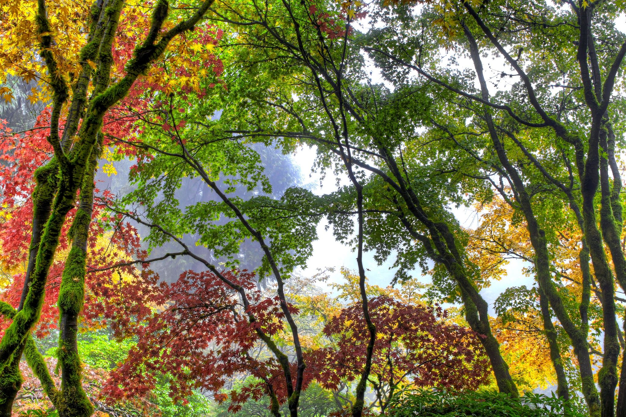 Canopy of Japanese Maple Trees in the Fall at Portland Japanese ...