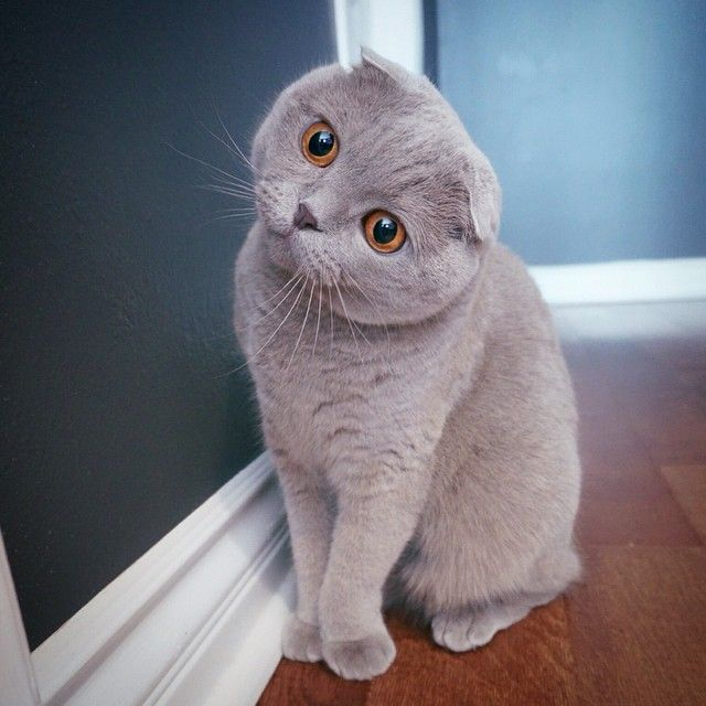 Milla The Cat Is A Blue Scottish Fold With Comically Small