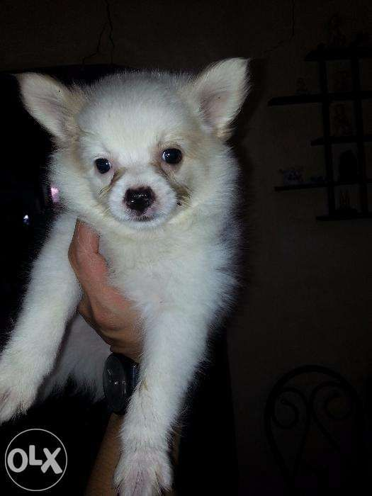 Pomspitz For Sale Female Or Swap For Sale Philippines Find New