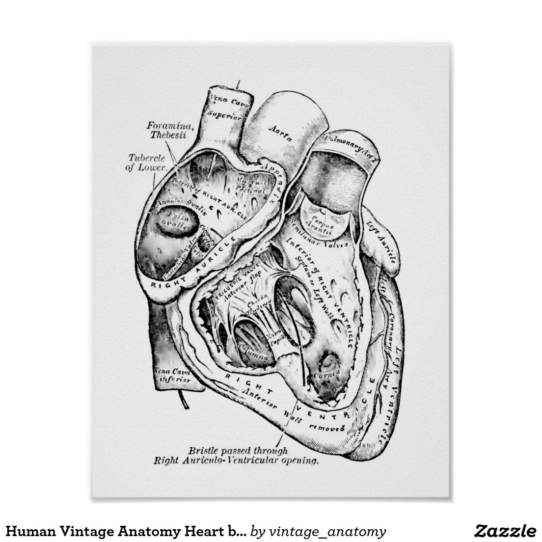 human vintage anatomy heart black and white poster   vintage anatomy