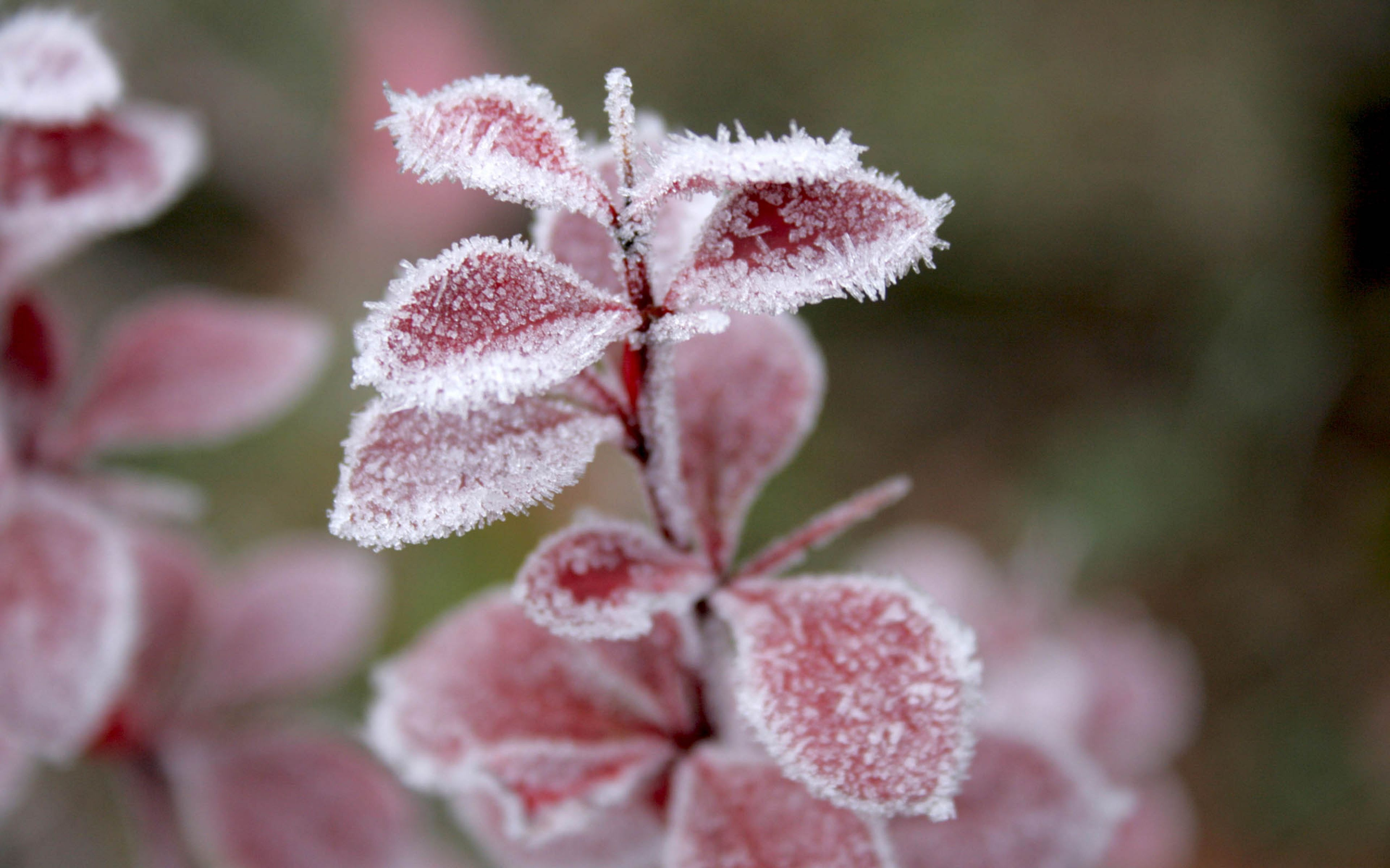 pink leaves ice winter