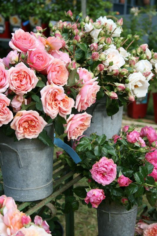 roses anciennes roses pivoines pinterest. Black Bedroom Furniture Sets. Home Design Ideas