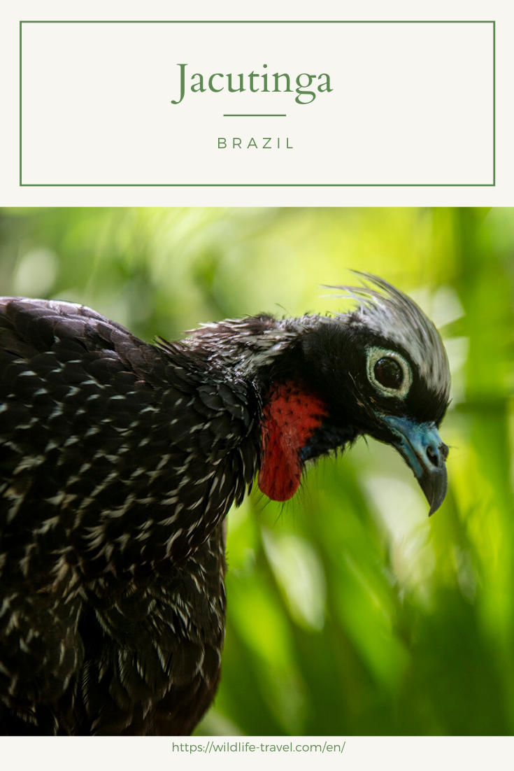Jacutinga in the bird park Parque das Aves in Foz do Iguaçu, Paraná, Brazil. #jacutinga #conservation #parquedasaves #birdprotection #animalprotection #wildlife #brazil #foz #fozdoiguacu