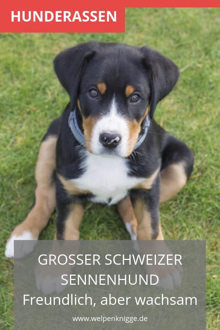 Grosser Schweizer Sennenhund Welpen Schweizer Sennenhund