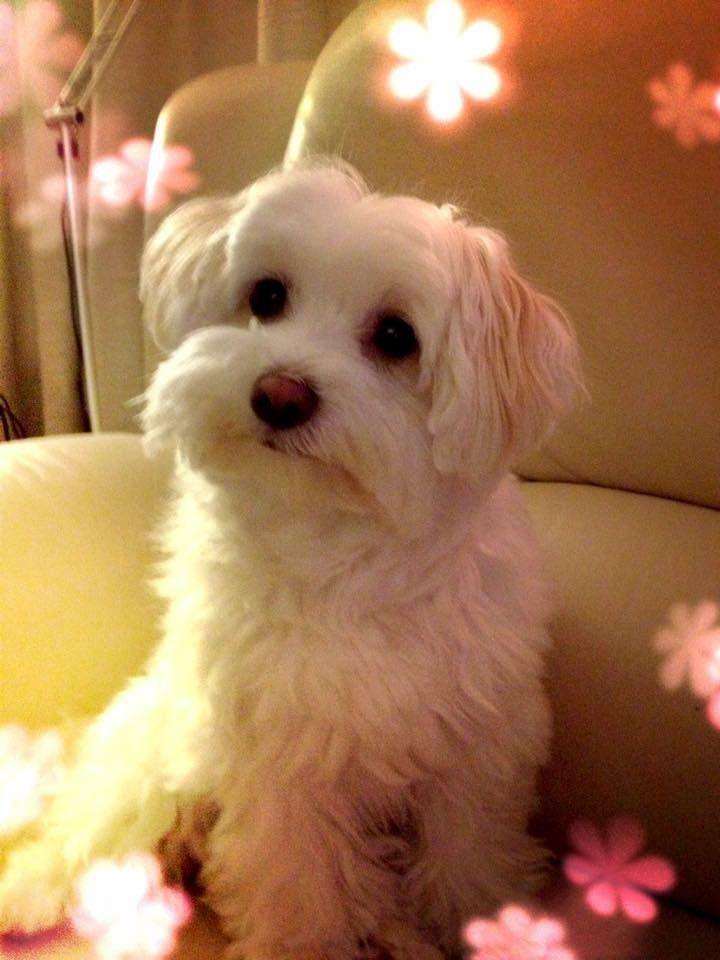 Park Art My WordPress Blog_Maltipoo Puppies For Adoption In California
