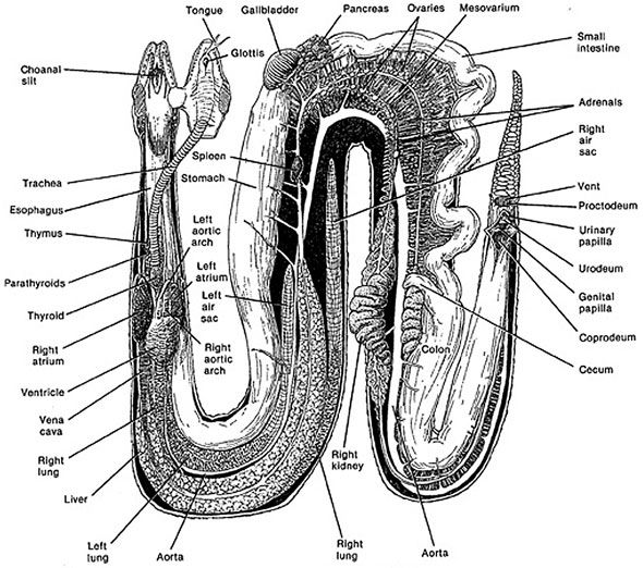 Lung Muscle Anatomy Snake Gastrointestinal Tract Anatomy