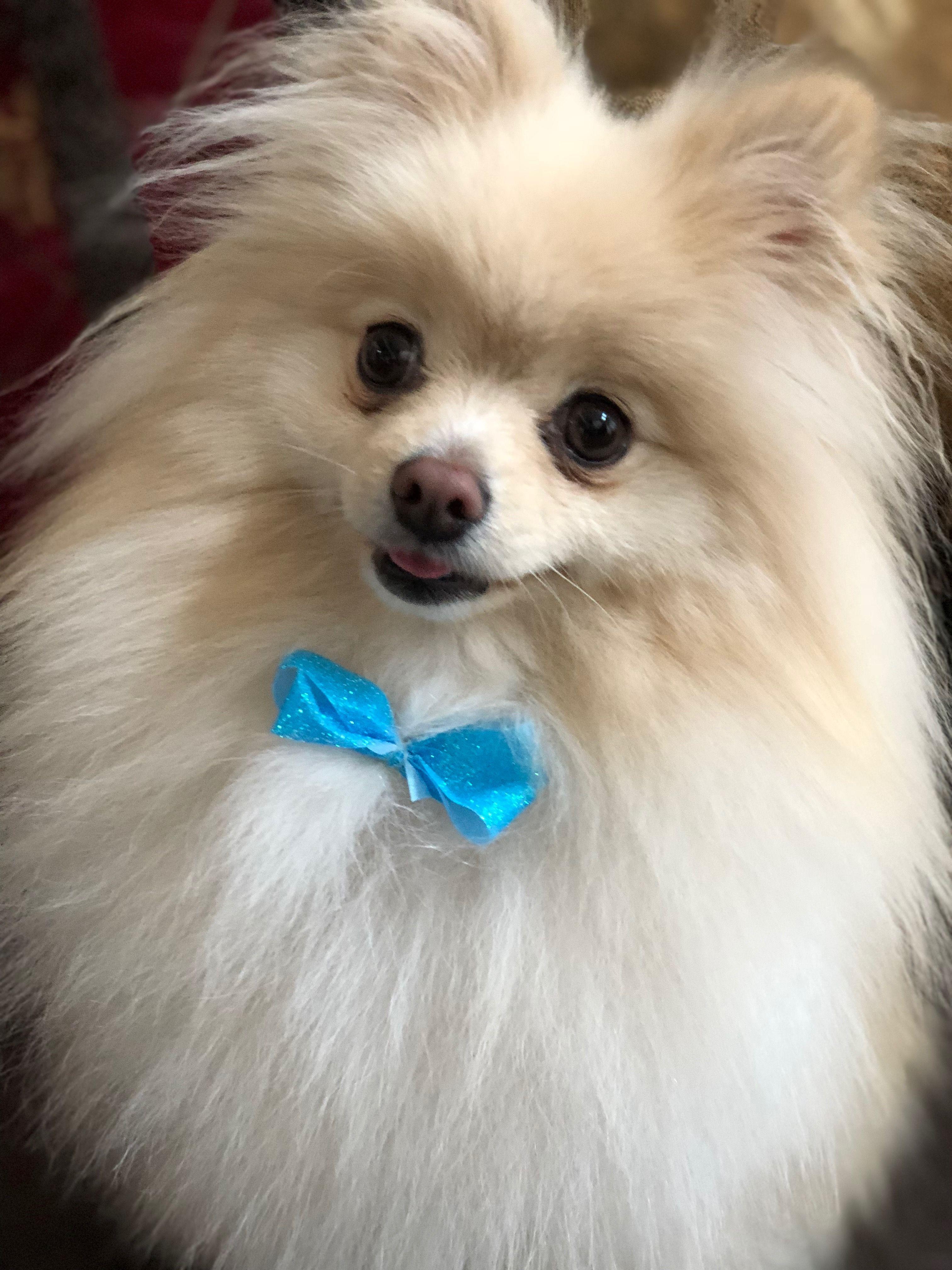 Bowser pomeranian dogs pomeranian pomeranian breed